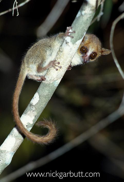 Madame Berthe's Mouse Lemur (Microcebus berthae). Kirindy Forest, western Madagascar. The World's smallest primate (around 25-30g).