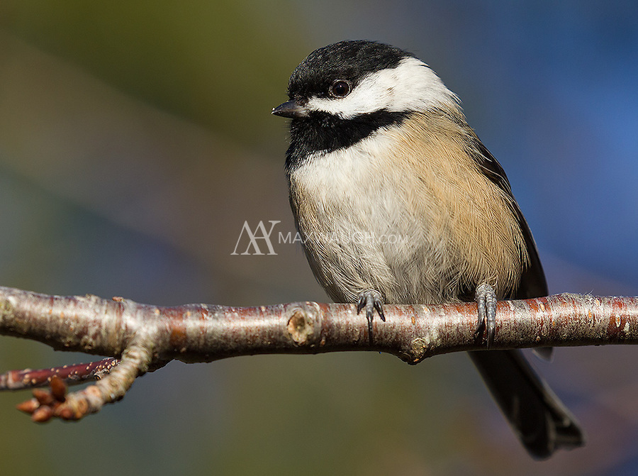 Black-capped chickadees are a common sight at Reifel Bird Sanctuary.