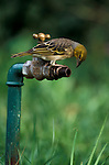 Southern Masked Weaver, Ploceus velatus, female, drinking water from tap, West Africa.Gambia....