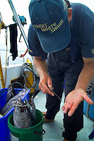 GANSBAAI, SOUTH AFRICA, DECEMBER 2004. Rozier, one of the crew prepares the Tuna heads for bait. Brian Mc Farlane organises Great White Shark cage diving tours out of Gansbaai. Gansbaai is one of the best places in the world to see the Great white in its natural habitat. Photo by Frits Meyst/Adventure4ever.com