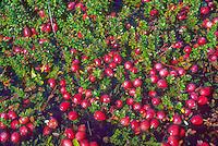 Ripe Cranberries, New Jersey