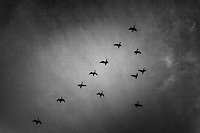 Black and white image of Canada geese in silhouette - flying in formation against  a background of high clouds.  Processed with emphasis on grain.