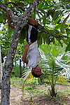 South America, Brazil, Amazon. Young boy hangs upside down to show off for visitors to his family home on the Amazon.