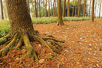 Beautiful forest scenery of nature tree roots in autumn season. Outdoor photography taken by Paul Chong.