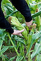 Harvesting sweetcorn, early August.