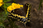 Black Swallowtail, Papilio polyxenes, Southern California