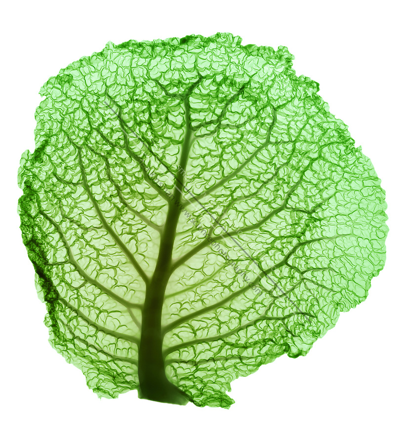 An X-ray a cabbage leaf