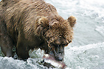 Brown bear catching salmon, Alaska
