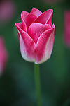 A lone pink tulip with background blur.