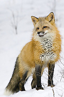Red fox standing on a snow covered hill - CA