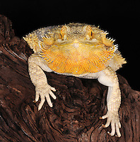 Bearded Dragon (Pogona vitticeps), captive.