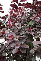 African Milkbush Synadenium compactum var. rubrum