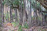 Chital, Ranthambore National Park, India