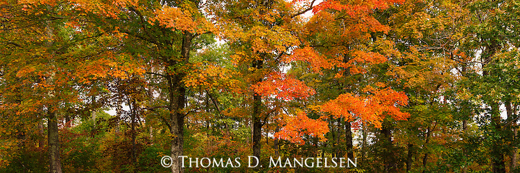Nearing their peak of fall color, this group of mostly maple trees colors a bluff above the Buffalo National River, Arkansas.