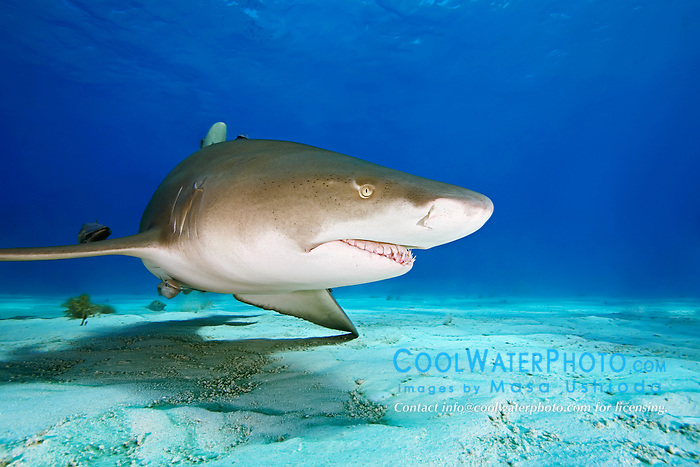 lemon shark, Negaprion brevirostris, Grand Bahama, Bahamas, Caribbean Sea, Atlantic Ocean