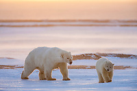 Polar bear sow and twin cubs of the year walk along the shore of Barter Island in the blowing wind, arctic, Alaska.