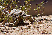 0609-1023  Desert Tortoise (Mojave Desert), Gopherus agassizii  © David Kuhn/Dwight Kuhn Photography