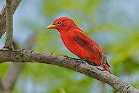 580980021 a wild male summer tanager piranga rubra songbird perches on a small limb on south padre island cameron county texas