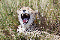 Cheetah showing its teeth as it yawns widely while resting in long grass of the Masai Mara Reserve, Kenya, Africa (photo by Wildlife Photographer Matt Considine)