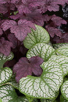 Brunnera macrophylla 'Jack Frost' AGM &amp; Heuchera 'Plum Pudding'