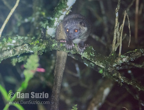 Olinguito, Bassaricyon neblina, a species whose discovery was announced in 2013.