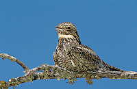 Lesser Nighthawk, Chordeiles acutipennis, adult on branch, Lake Corpus Christi, Texas, USA