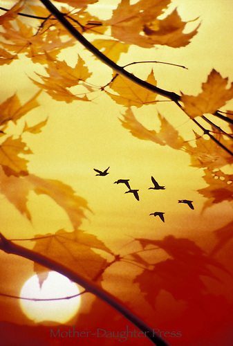Geese migrating in autumn framed by fall leaves in sunset
