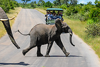 African Bush Elephant with calf crossing the road. Kruger National Park, the largest game reserve in South Africa.
