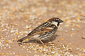 Spanish Sparrow - Passer hispaniolensis - male