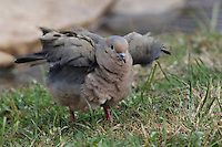 Mourning Dove doing its Easter chicken imitation :)