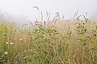 Native meadow with wildflowers and grass in fog Virginia mountains,  Blue Ridge Parkway in August