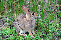 673310001 a wild eastern cottontail rabbit sylvilagus floridanus forages on wild grasses by a pond in laguna atascosa national wildlife refuge in south texas