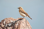 Isabelline Wheatear, Oenanthe isabellina, Lesvos Island, Greece, local summer visitor, perched on rock , lesbos