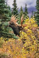 Bull Moose, scents for cow during mating season, Denali National Park, Alaska