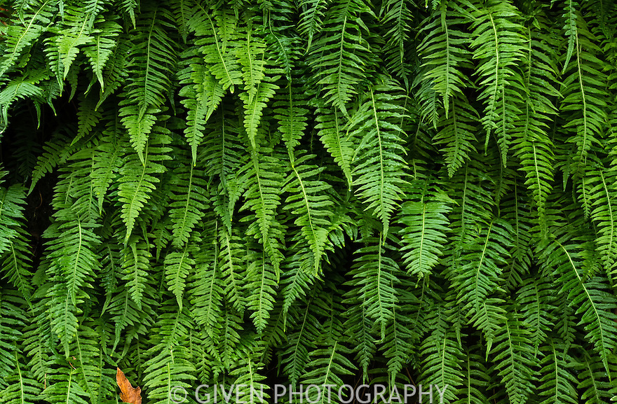 oregon green ferns - photo #6