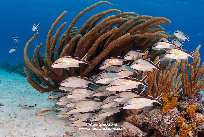 A school of Cottonwick Grunts, Haemulon melanurum, hovers near a gorgonian coral colony. Little Bahama Bank, Bahamas, Atlantic Ocean