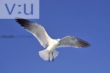 Ring-billed Gull in flight ,Larus delawarensis,, North America.