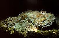 Großer Roter Drachenkopf, Europäische Meersau, Scorpaena scrofa, red scorpionfish, Bigscale scorpionfish, large-scaled scorpion fish, Skorpionfische, Scorpaenidae