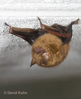 0411-1004  Little Brown Bat (syn. Little Brown Myotis), Myotis lucifugus  © David Kuhn/Dwight Kuhn Photography.