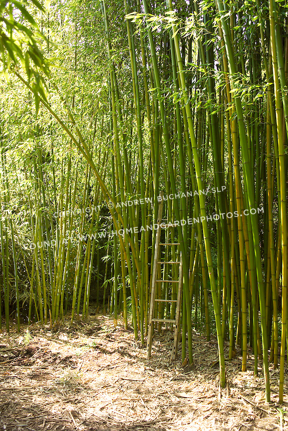 """An eight foot bamboo ladder stands dwarfed amid a tall-growing forest of Rubro bambooo, Phyllostachys rubromarginata.  Rubro can reach 55' tall in its native habitat, with each culm, or stalk, reaching nearly 3"""" in diameter.  It is hardy to USDA zone 6, prefers full sun, and is drought tolerant when established.  Rubro bamboo is noted for the quality of its wood, and its shoots are edible and tender."""