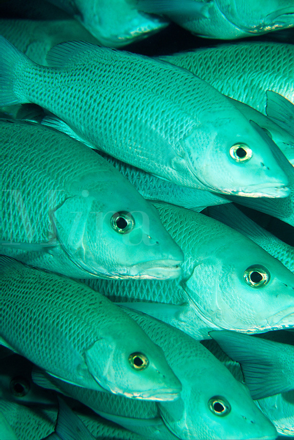 Underwater close up of Schooling snappers in the Caribbean Sea.