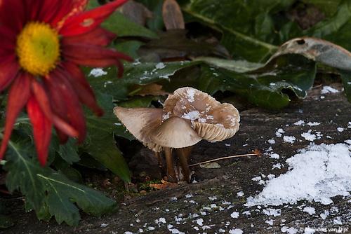 Paddenstoelen en bloeiende chrysant in winterse tuin. Mushrooms and chrysanthemum bloom in winter garden.