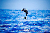 pantropical spotted dolphin calf leaping, Stenella attenuata, Big Island, Hawaii, Pacific Ocean.