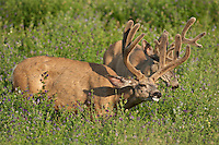 Mule deer (Odocoileus hemionus) bucks in velvet during summer in Wyoming