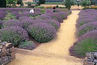 Harvest of English lavender at Matanzas Creek Winery