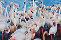 Greater Flamingos (Phoenicopterus roseus) in lagoon, Camargue, France