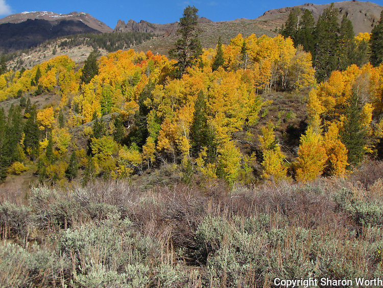 Gold and green, aspen, conifers and sagebrush adorn a hillside on the eastern side of Sonora Pass in the Sierra Nevada.