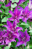 Clematis 'Diana's Delight'