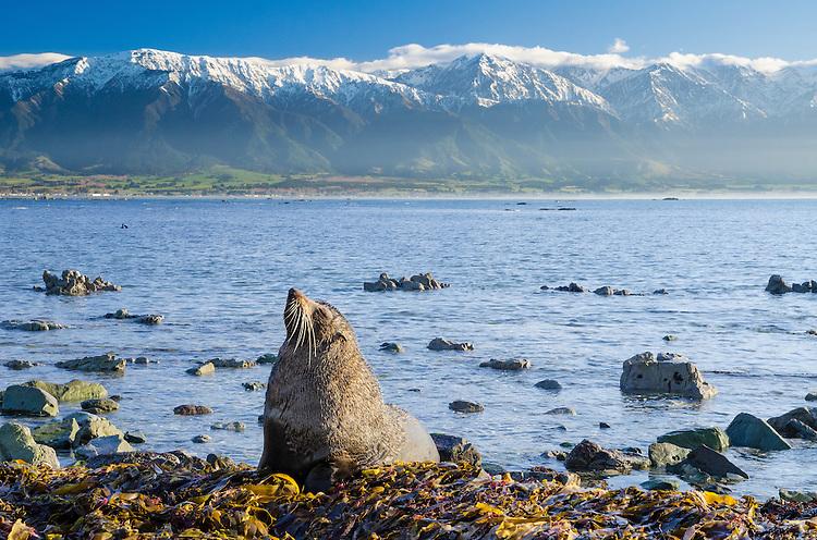New Zealand Fur Seal amongst seaweed at Kaikoura Peninsula, the Kaikouras behind, New Zealand