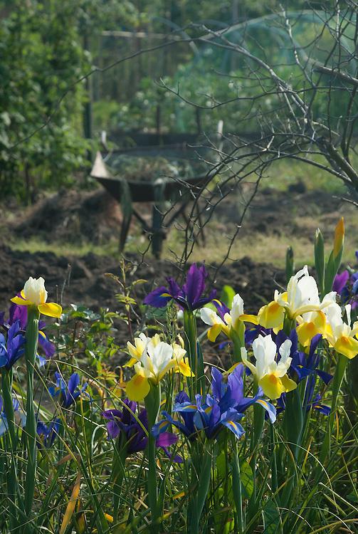 Irises on neighbourhood allotment site, late May.